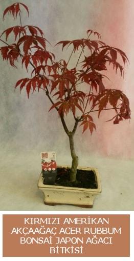 Amerikan akçaağaç Acer Rubrum bonsai  Niğde internetten çiçek siparişi