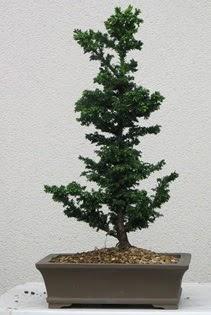 Çam ağacı bonsai bitkisi satışı  Niğde çiçek yolla , çiçek gönder , çiçekçi