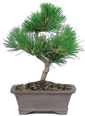 Çam ağacı bonsai japon ağacı bitkisi  Niğde online çiçekçi , çiçek siparişi