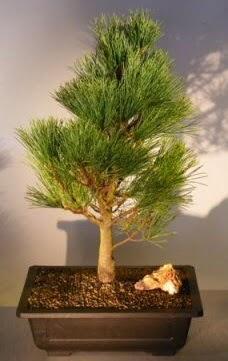 Çam ağacı japon ağacı bitkisi bonsai  Niğde çiçek yolla , çiçek gönder , çiçekçi