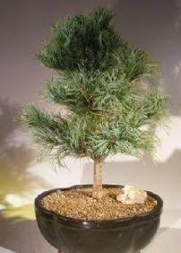 Çam ağacı bonsai bitkisi satışı  Niğde çiçek yolla