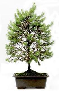 *** STOKTA YOK - Çam ağacı bonsai bitkisi satışı  Niğde çiçekçiler