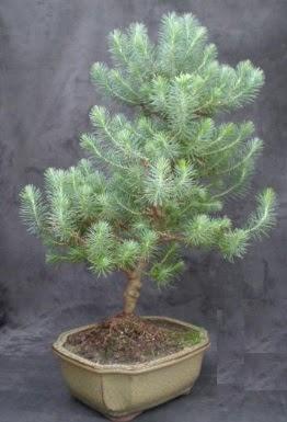 Bonsai çam ağacı japon ağacı bitkisi  Niğde güvenli kaliteli hızlı çiçek