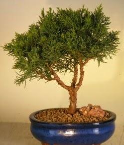 Servi çam bonsai japon ağacı bitkisi  Niğde yurtiçi ve yurtdışı çiçek siparişi