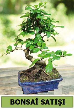 Çam bonsai japon ağacı satışı  Niğde İnternetten çiçek siparişi