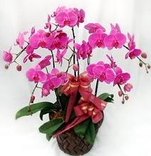 Sepet içerisinde 5 dallı lila orkide  Niğde çiçek yolla