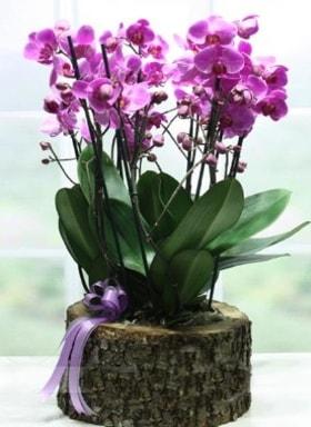 Kütük içerisinde 6 dallı mor orkide  Niğde çiçek yolla