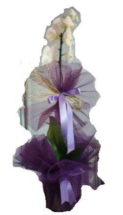 Tek dallı beyaz orkide süper kalite ithal  Niğde çiçek satışı