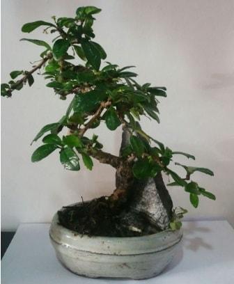 S şeklinde ithal bonsai ağacı  Niğde yurtiçi ve yurtdışı çiçek siparişi