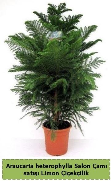 Salon Çamı Satışı Araucaria heterophylla  Niğde İnternetten çiçek siparişi