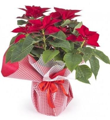 Atatürk çiçeği saksı bitkisi  Niğde güvenli kaliteli hızlı çiçek
