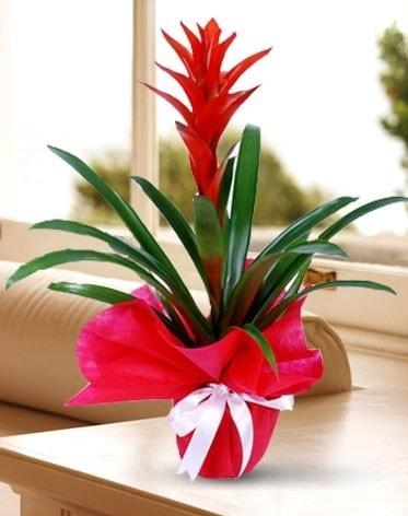 Guzmanya Saksı Çiçeği  Niğde yurtiçi ve yurtdışı çiçek siparişi