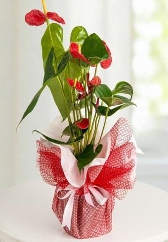 Anthurium Saksı Çiçeği  Niğde çiçek gönderme
