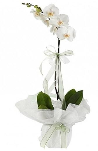 Tekli Beyaz Orkide  Niğde çiçek gönderme