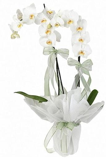 Çift Dallı Beyaz Orkide  Niğde online çiçek gönderme sipariş