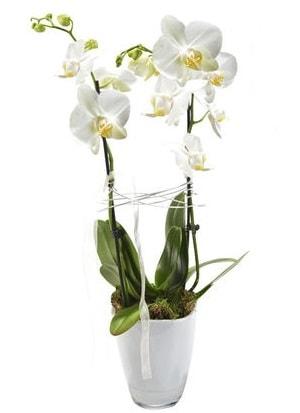 2 dallı beyaz seramik beyaz orkide saksısı  Niğde güvenli kaliteli hızlı çiçek