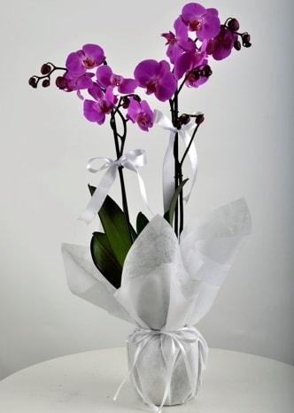 Çift dallı saksıda mor orkide çiçeği  Niğde çiçekçi mağazası