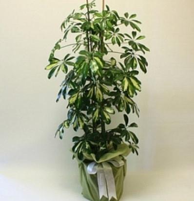 Şeflera salon bitkisi  Niğde online çiçekçi , çiçek siparişi