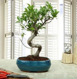 Amazing Bonsai Ficus S İthal  Niğde hediye çiçek yolla