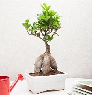 Exotic Ficus Bonsai ginseng  Niğde uluslararası çiçek gönderme