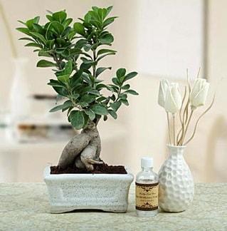 Ginseng ficus bonsai  Niğde ucuz çiçek gönder