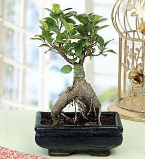 Appealing Ficus Ginseng Bonsai  Niğde online çiçek gönderme sipariş