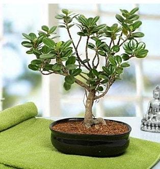 Lovely Ficus Iceland Bonsai  Niğde online çiçek gönderme sipariş