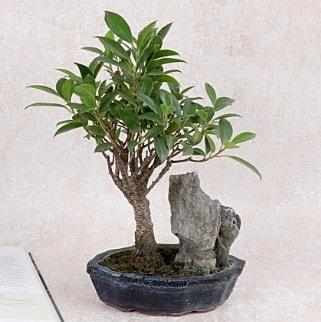 Japon ağacı Evergreen Ficus Bonsai  Niğde güvenli kaliteli hızlı çiçek