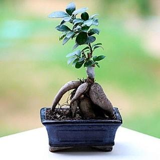 Marvellous Ficus Microcarpa ginseng bonsai  Niğde çiçekçi mağazası