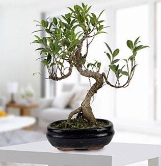 Gorgeous Ficus S shaped japon bonsai  Niğde çiçek online çiçek siparişi