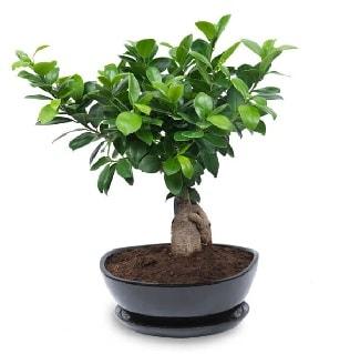 Ginseng bonsai ağacı özel ithal ürün  Niğde çiçek , çiçekçi , çiçekçilik