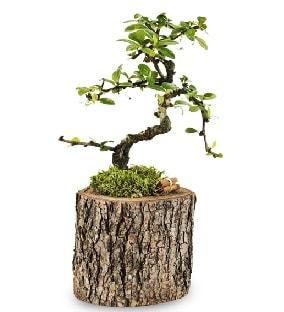 Doğal kütükte S bonsai ağacı  Niğde İnternetten çiçek siparişi