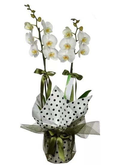 Çift Dallı Beyaz Orkide  Niğde çiçek siparişi vermek