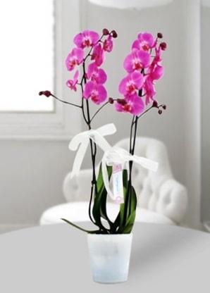 Çift dallı mor orkide  Niğde ucuz çiçek gönder