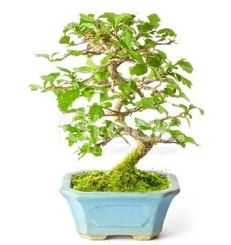 S zerkova bonsai kısa süreliğine  Niğde kaliteli taze ve ucuz çiçekler