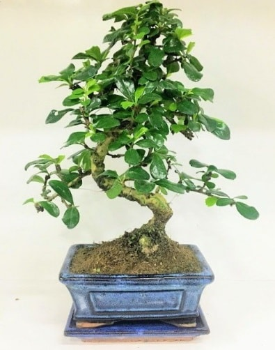 S Bonsai japon ağacı bitkisi  Niğde internetten çiçek siparişi
