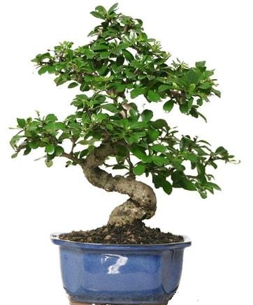 21 ile 25 cm arası özel S bonsai japon ağacı  Niğde çiçek yolla , çiçek gönder , çiçekçi