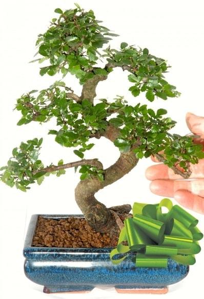 Yaklaşık 25 cm boyutlarında S bonsai  Niğde çiçek satışı