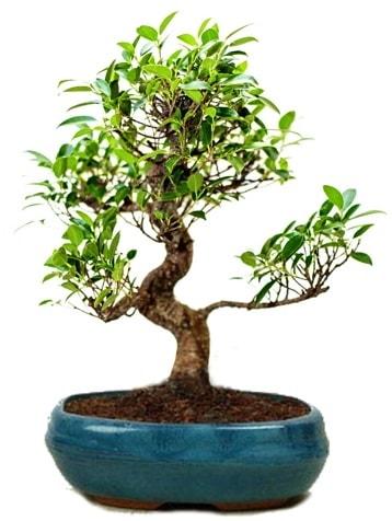 25 cm ile 30 cm aralığında Ficus S bonsai  Niğde güvenli kaliteli hızlı çiçek