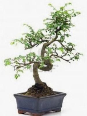 S gövde bonsai minyatür ağaç japon ağacı  Niğde İnternetten çiçek siparişi