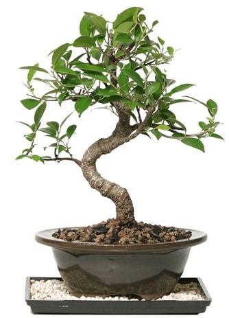 Altın kalite Ficus S bonsai  Niğde çiçek yolla , çiçek gönder , çiçekçi   Süper Kalite