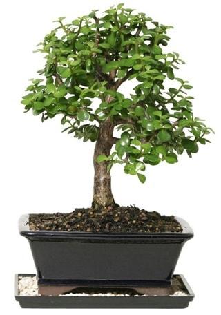 15 cm civarı Zerkova bonsai bitkisi  Niğde çiçek satışı