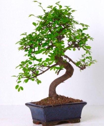 S gövdeli bonsai minyatür ağaç japon ağacı  Niğde güvenli kaliteli hızlı çiçek