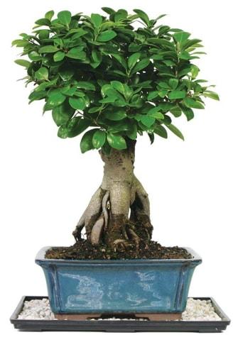Bonsai Ginsing Grafted Ficus Bonsai  Niğde yurtiçi ve yurtdışı çiçek siparişi