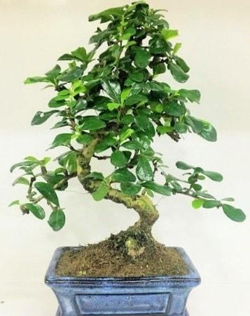 Zelkova S gövdeli Minyatür ağaç Bonzai  Niğde online çiçekçi , çiçek siparişi