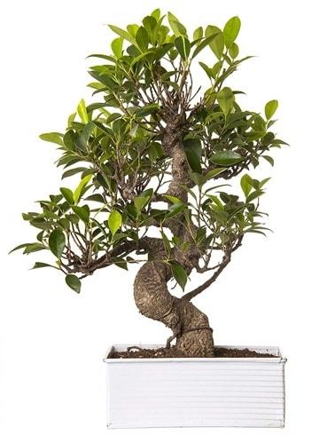 Exotic Green S Gövde 6 Year Ficus Bonsai  Niğde güvenli kaliteli hızlı çiçek