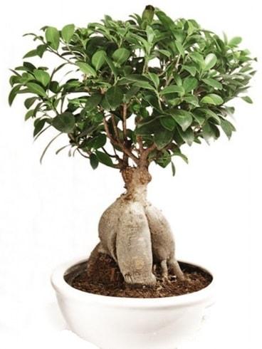 Ginseng bonsai japon ağacı ficus ginseng  Niğde kaliteli taze ve ucuz çiçekler